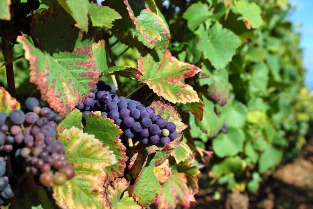 Bunch of red grapes in a vineyard