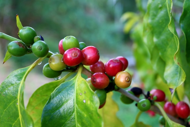 Bunch of red and green ripening coffee cherries on its branch with water droplets after the rain