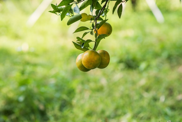 Bunch of ripe oranges hanging on a orange tree