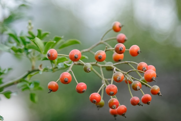 Bunch of rose hips, the fruit of the rose bush