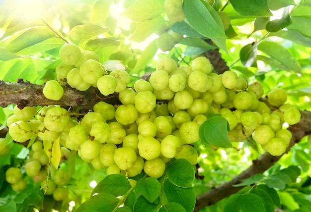 Bunch of star gooseberries on the tree
