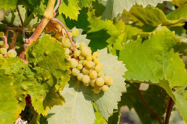 Bunch of unripe green grapes