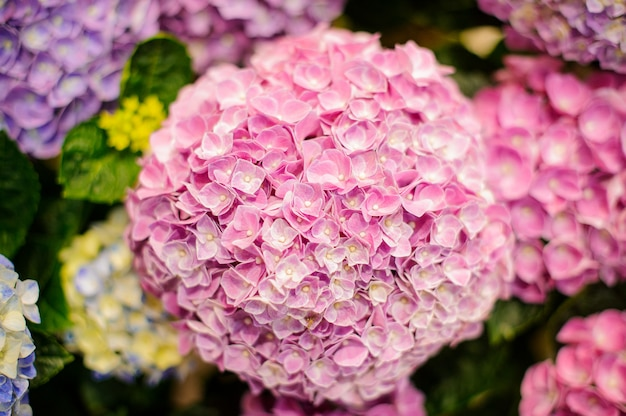 Bunch of vibrant pink blooming hydrangea flowers