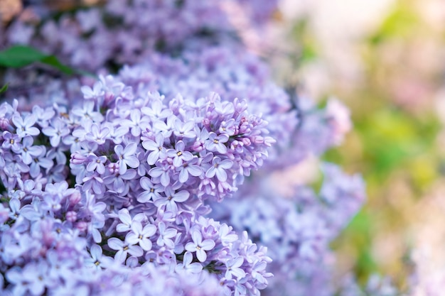 Bunch of violet lilac flowers with green leaves as background. natural floral background. beautiful flower blossom in park or garden. spring concept. soft focus.