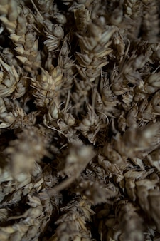 A bunch of wheat an ear of wheat close up Premium Photo