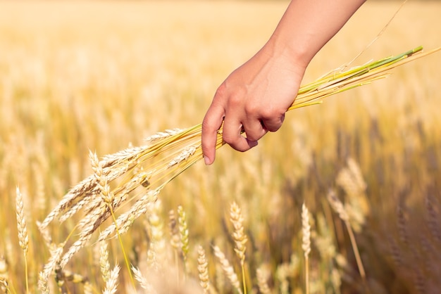 A bunch of wheat ears in a woman's hand. against the background of golden wheat field.
