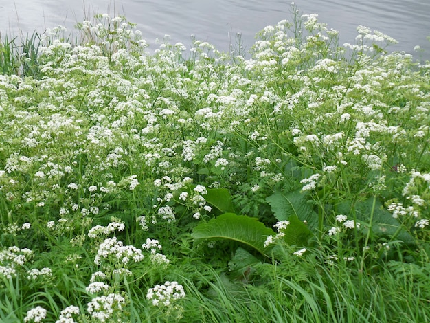 Bunch of white wild flower on the river bank, kinderdijk, the netherlands
