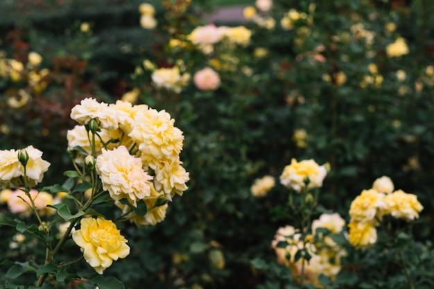 Bunch of yellow flowers in graden