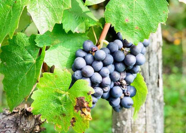 Bunches of black grapes on the vines