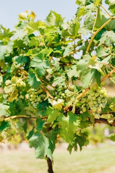 Bunches of grapes in green leaves on a sunny day