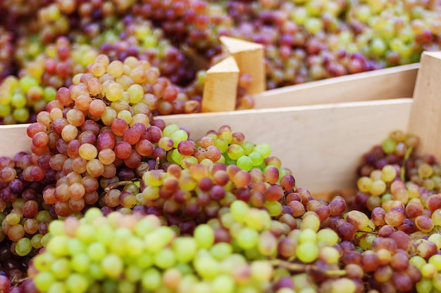 Bunches of harvested grapes in wooden boxes