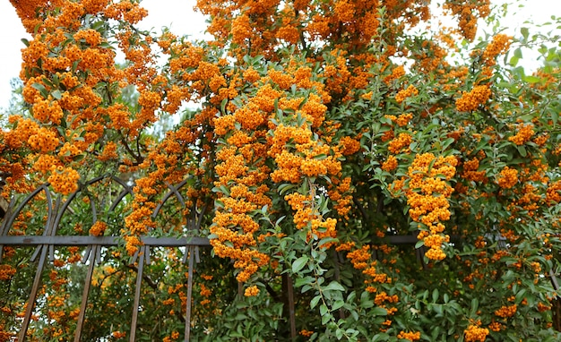 オレンジのトキワサンザシ(ピラカンサ)ヘッジ植物のベリーのような果物の房