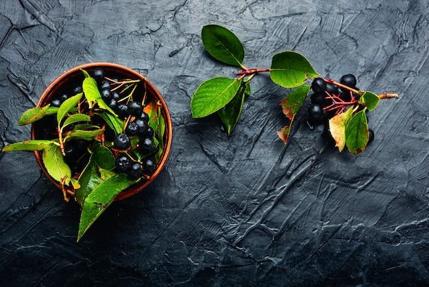 신선한 chokeberry의 무리입니다. 약초와 동종 요법