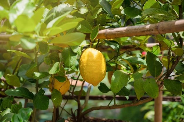 유기농 농장의 레몬 나무 가지에 있는 신선한 노란색 익은 레몬 뭉치.