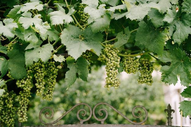 마당에 있는 아치에 있는 녹색 잎에 있는 포도 다발