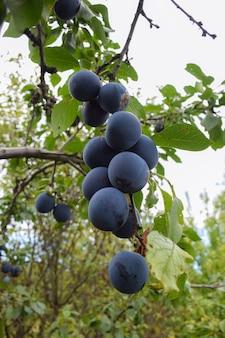 Грозди крупных синих слив висят на дереве в летнем саду с зеленой листвой.