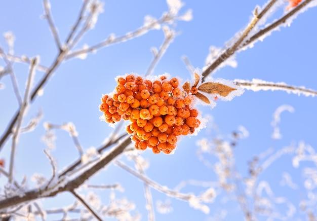 冬の山の灰の束。青い空を背景に雪に覆われた真っ赤なベリー