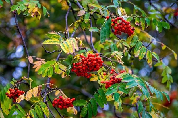 Пучки красной рябины на дереве в саду осенью