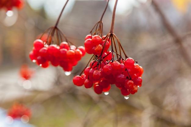 Грозди красных ягод калины с каплями дождя в конце летнего сезона. сезонные фрукты, осенний урожай и концепция лекарственных растений, красные ягоды калины с каплями дождя