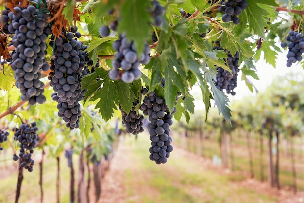 포도 재배 및 와인 생산의 개념으로 수확할 준비가 된 와이너리의 포도원에 있는 포도나무에 매달려 있는 잘 익은 검은 포도 다발
