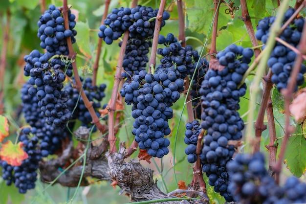 ブドウ畑で熟したブドウの房。