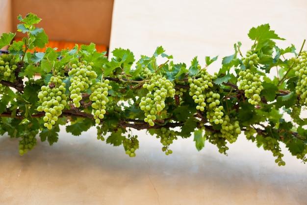 Грозди спелого винограда над стеной фермерского дома во франции