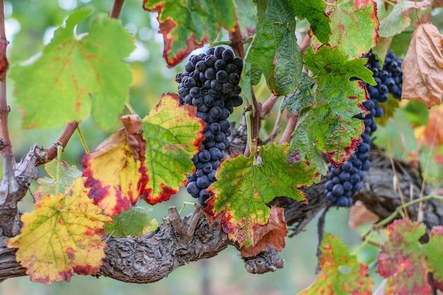 Грозди спелого сладкого винограда, висящие на ветвях виноградника