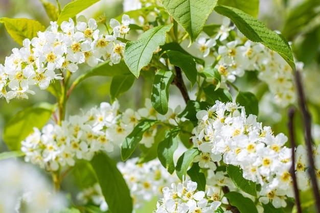 Пучки мелких белых цветков с желтой серединкой. весеннее цветение