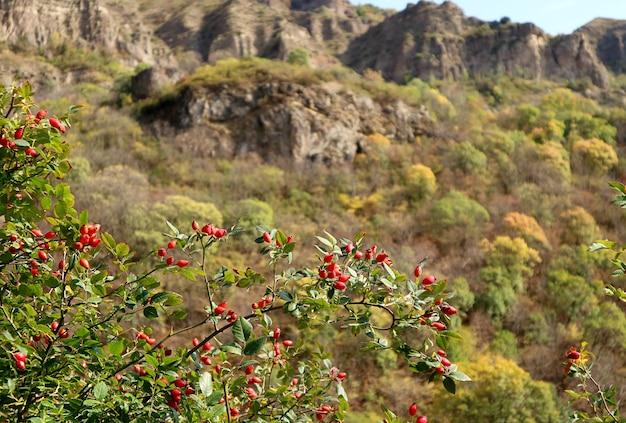 背景にぼやけた山の景色と木々に熟している鮮やかな赤いローズヒップフルーツの束