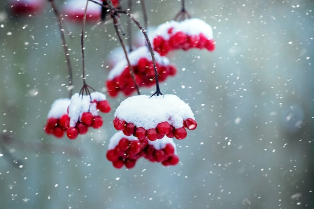 降雪時に雪に覆われたガマズミ属の木の束