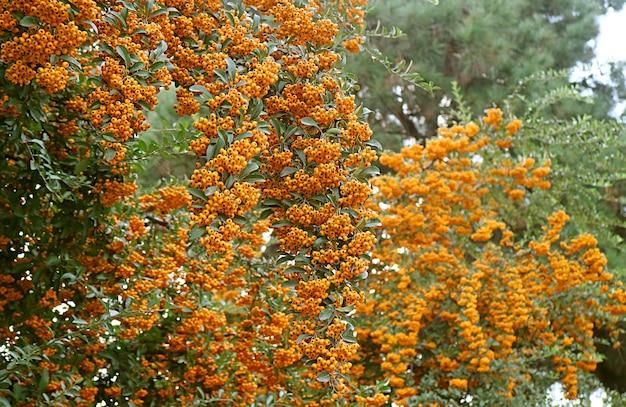 울타리를 따라 자라는 firethorn(pyracantha)의 생생한 오렌지 열매 다발