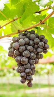 Bunches of ripe grapes in a vineyard.