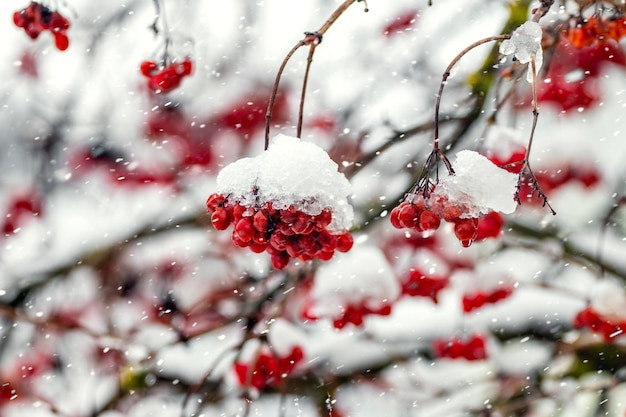 Bunches of viburnum covered with snow during a snowfall
