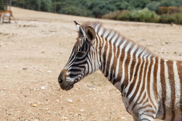 Burchell's zebra или equus quagga burchellii в дикой песчаной местности