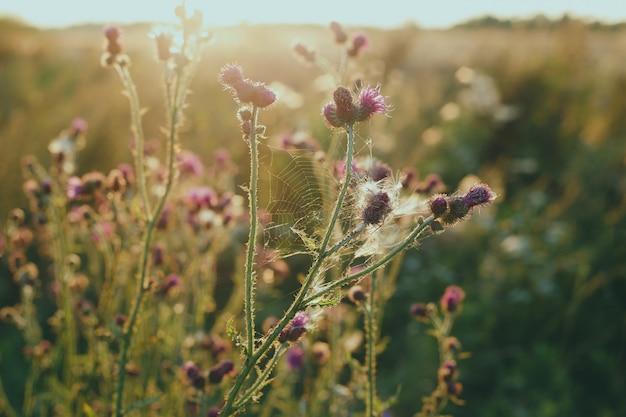 太陽の下でゴボウの花
