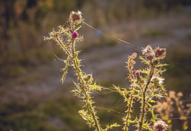 Burdock with cobwebs against the sun on blurry