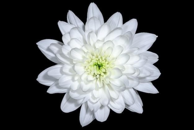 黒い背景に白い菊の鳥