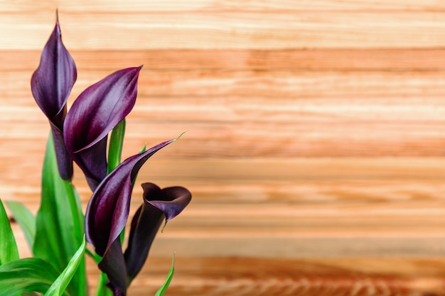 Burgundy calla lilies on summer background of wooden fence with copy space