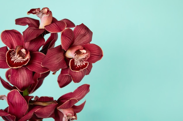 Burgundy cymbidium orchids on a pale green