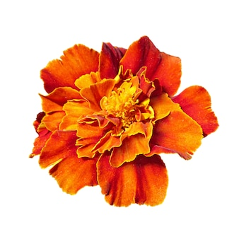 Burgundy marigold isolated on a black background