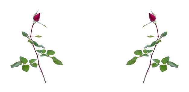 コピースペースで白に分離されたブルゴーニュのバラのつぼみ