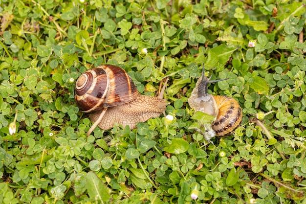 フランスの春の濡れた草の上のブルゴーニュのカタツムリ (helix pomatia) と小さな灰色のカタツムリ (helix aspersa aspersa)