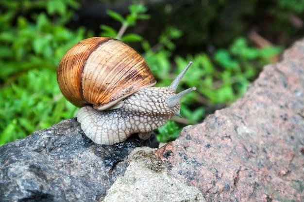 Burgundy snail helix pomatia or escargot in natural environment closeup