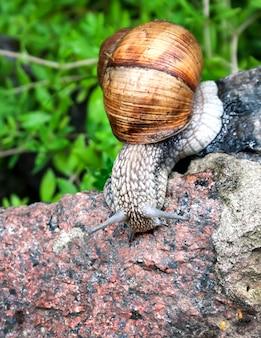 Burgundy snail (helix pomatia) or escargot in natural environment. closeup
