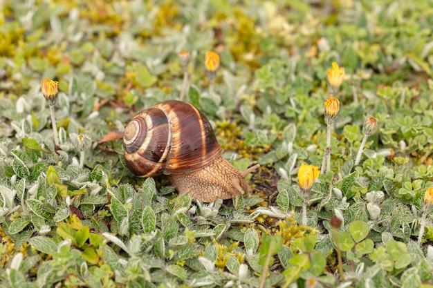 フランスの春の濡れた草の上のブルゴーニュのカタツムリ (helix pomatia)