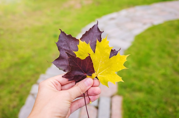 Burgundy and yellow maple leaves in a female hand on the background of a lawn and footpath