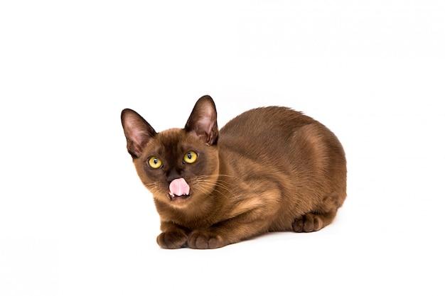 ビルマ猫。かわいい遊び心のあるチョコレート色の子猫。白い背景の上。