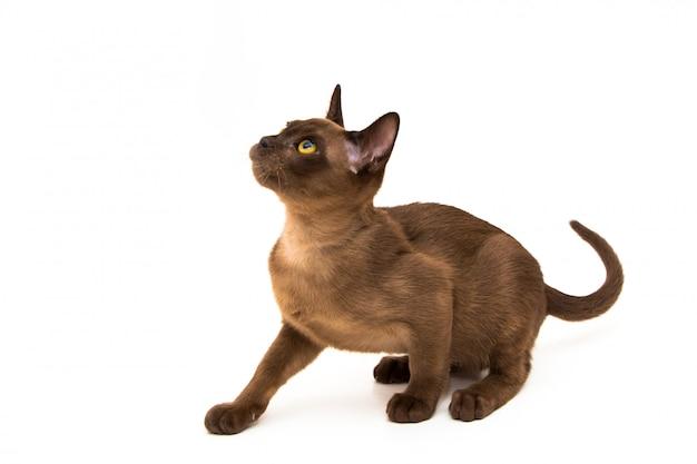 ビルマ猫。かわいい遊び心のあるチョコレート色の子猫。