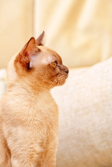 Бурманская кошка окраса котенка шоколадного цвета, порода домашних кошек, происходящая из таиланда, которая, как полагают, имеет свои корни недалеко от нынешней тайско-бирманской.