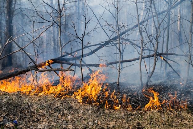 Burned trees after wildfire, pollution and a lot of smoke